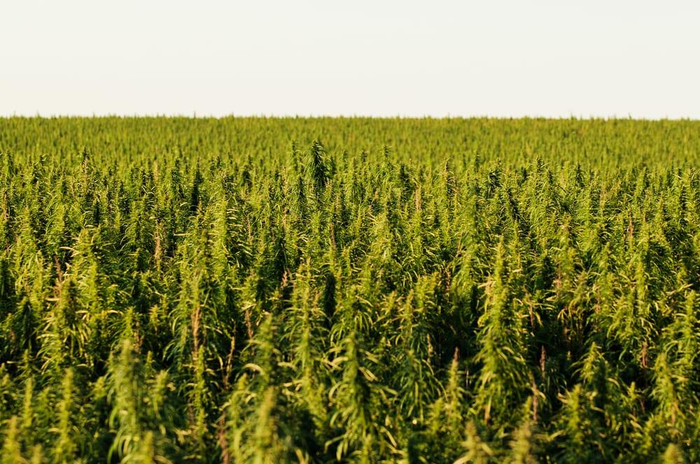many hemp crop yields rotting 2019 blog post